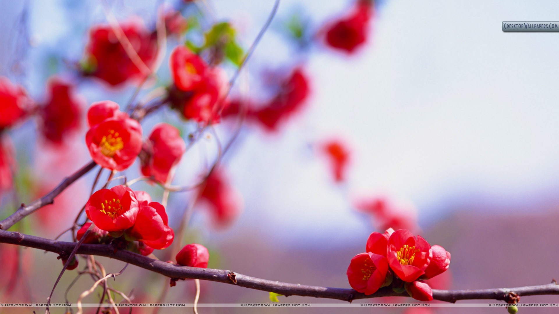 Red Flower HD Wallpapers Backgrounds Wallpaper