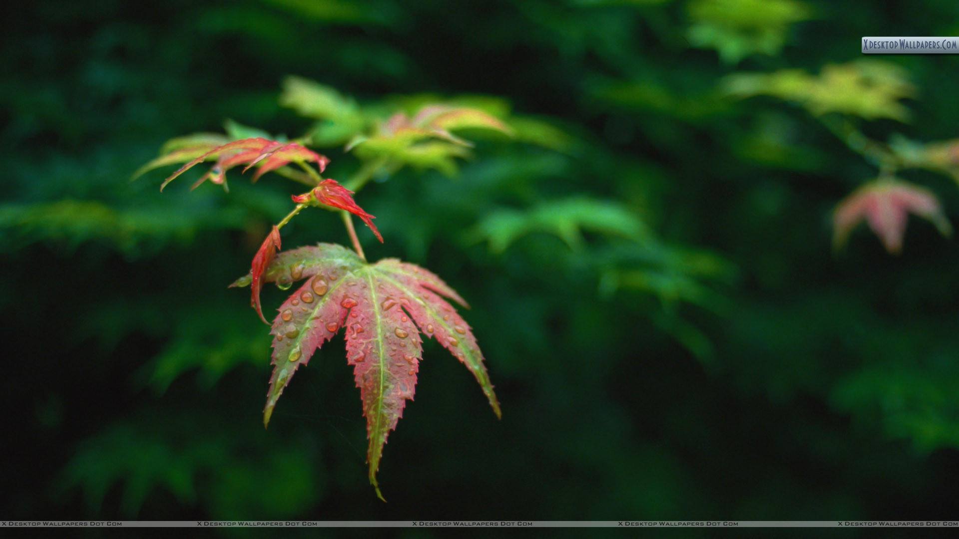 red leaves wallpapers, photos & images in hd