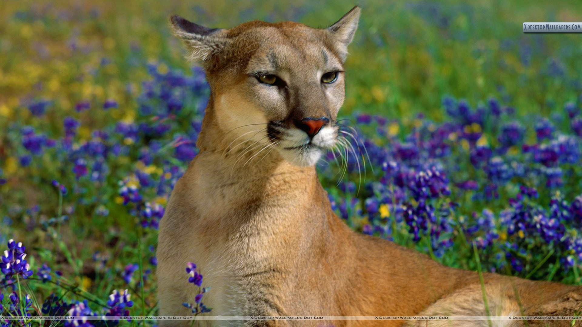 fragrant wildflowers, cougar wallpaper
