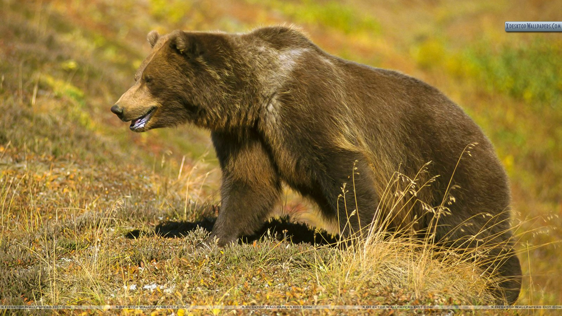 You Are Viewing Wallpaper Titled Grizzly