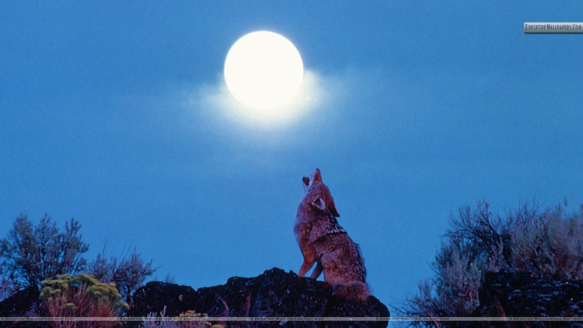 Coyote Howling Wallpaper  Coyote Howling ...