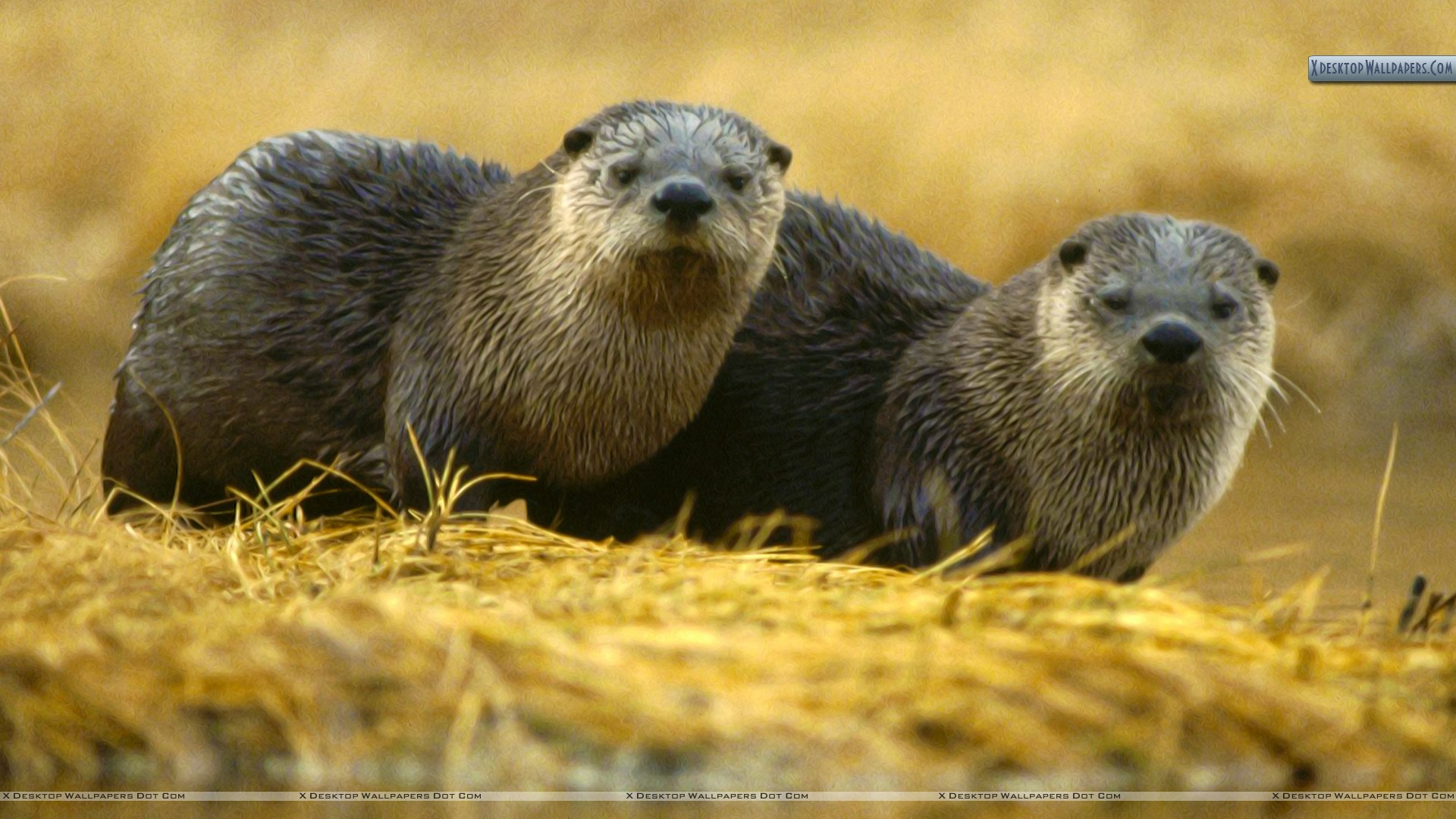 North American River Otter Yellowstone National Park Wallpaper