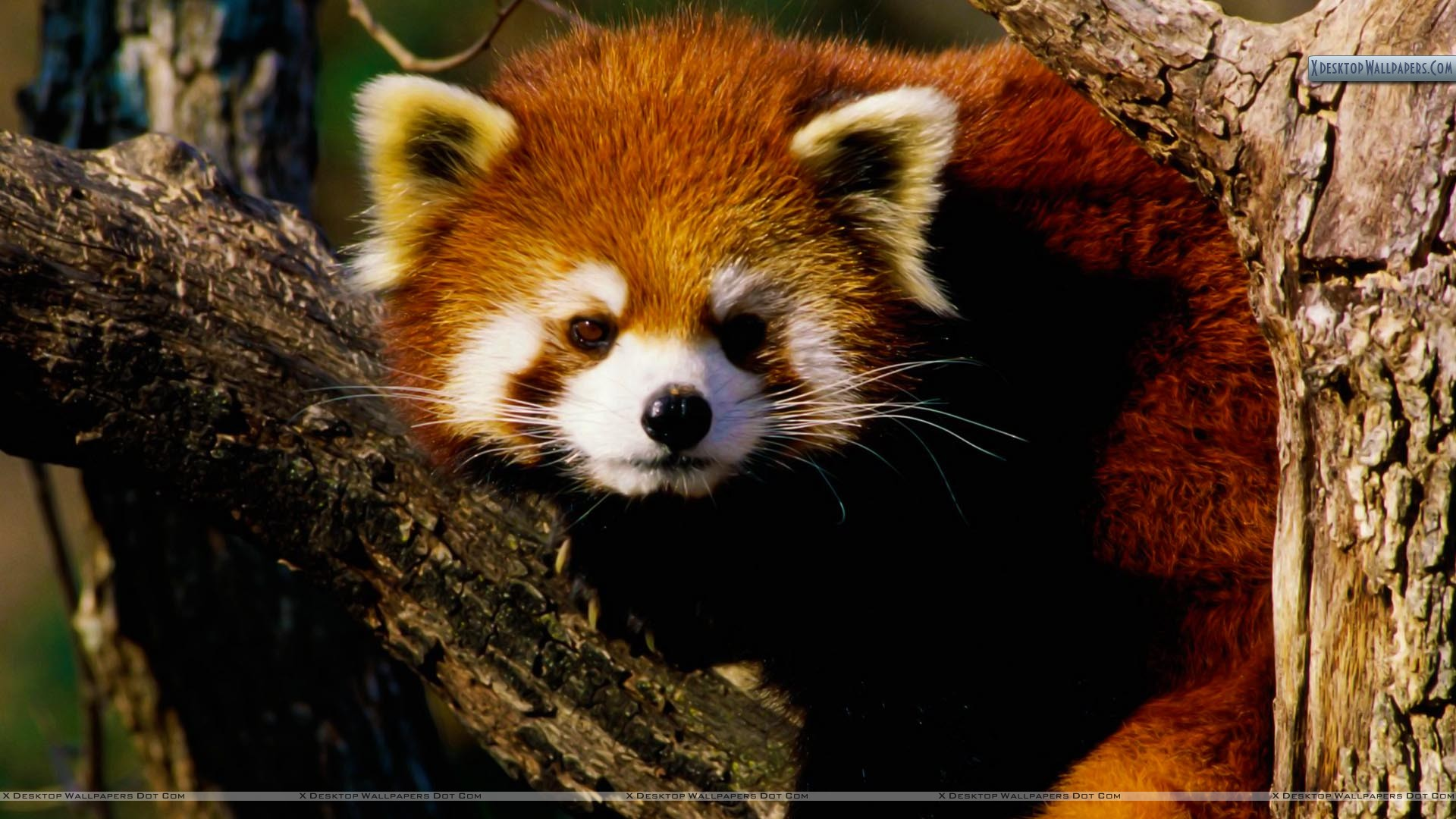 You Are Viewing Wallpaper Titled Red Panda Baby