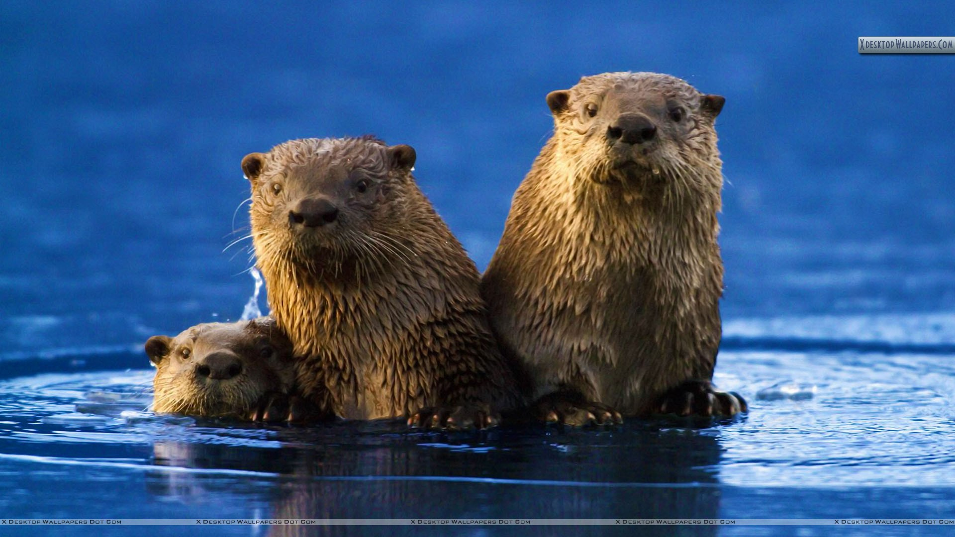 "You are viewing wallpaper titled ""Sea Otter ..."