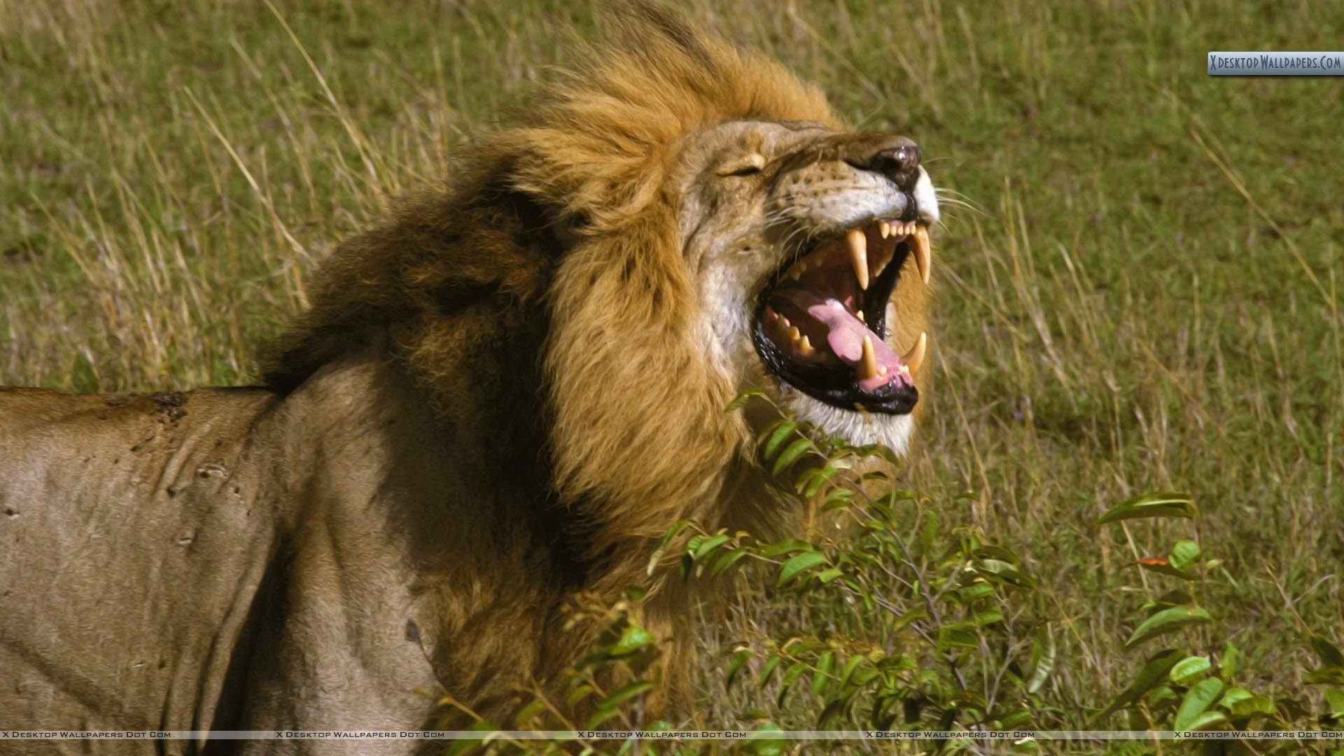 the king of smiles, african lion, tanzania wallpaper