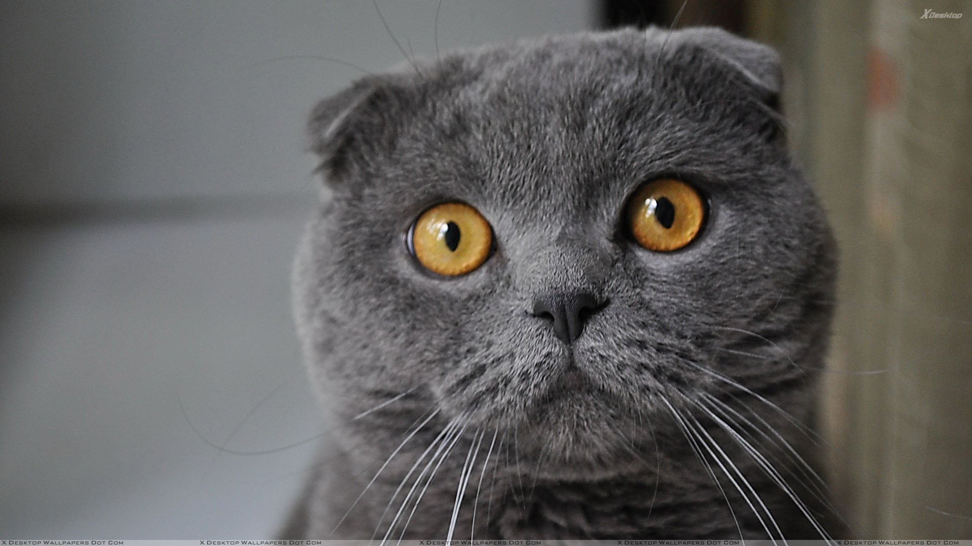 black cat and brown eyes face closeup wallpaper