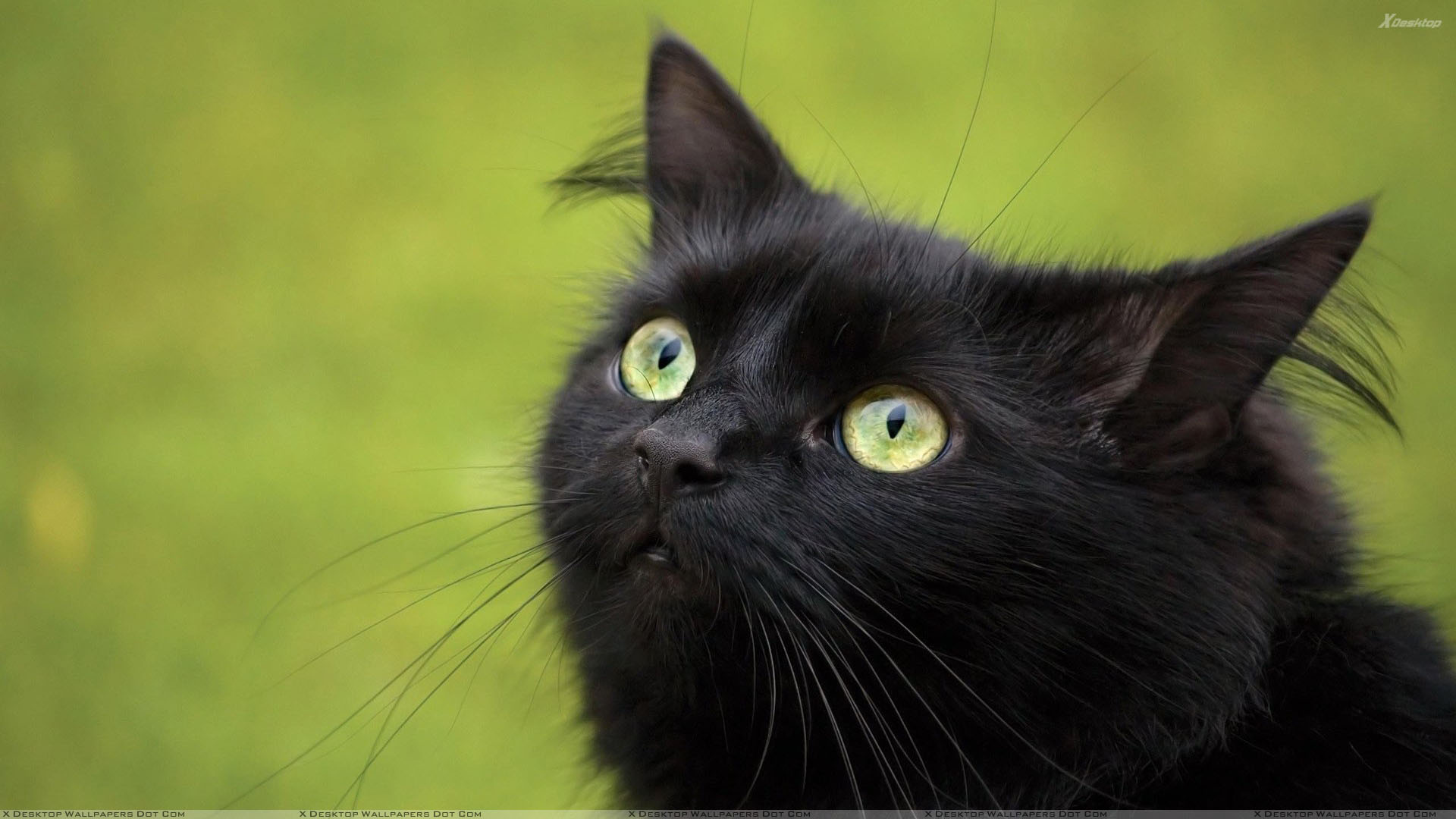You Are Viewing Wallpaper Titled Black Cat