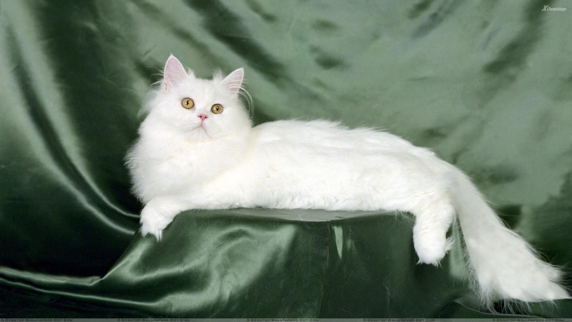 White Sweet Cat Pose On Green Background Wallpaper