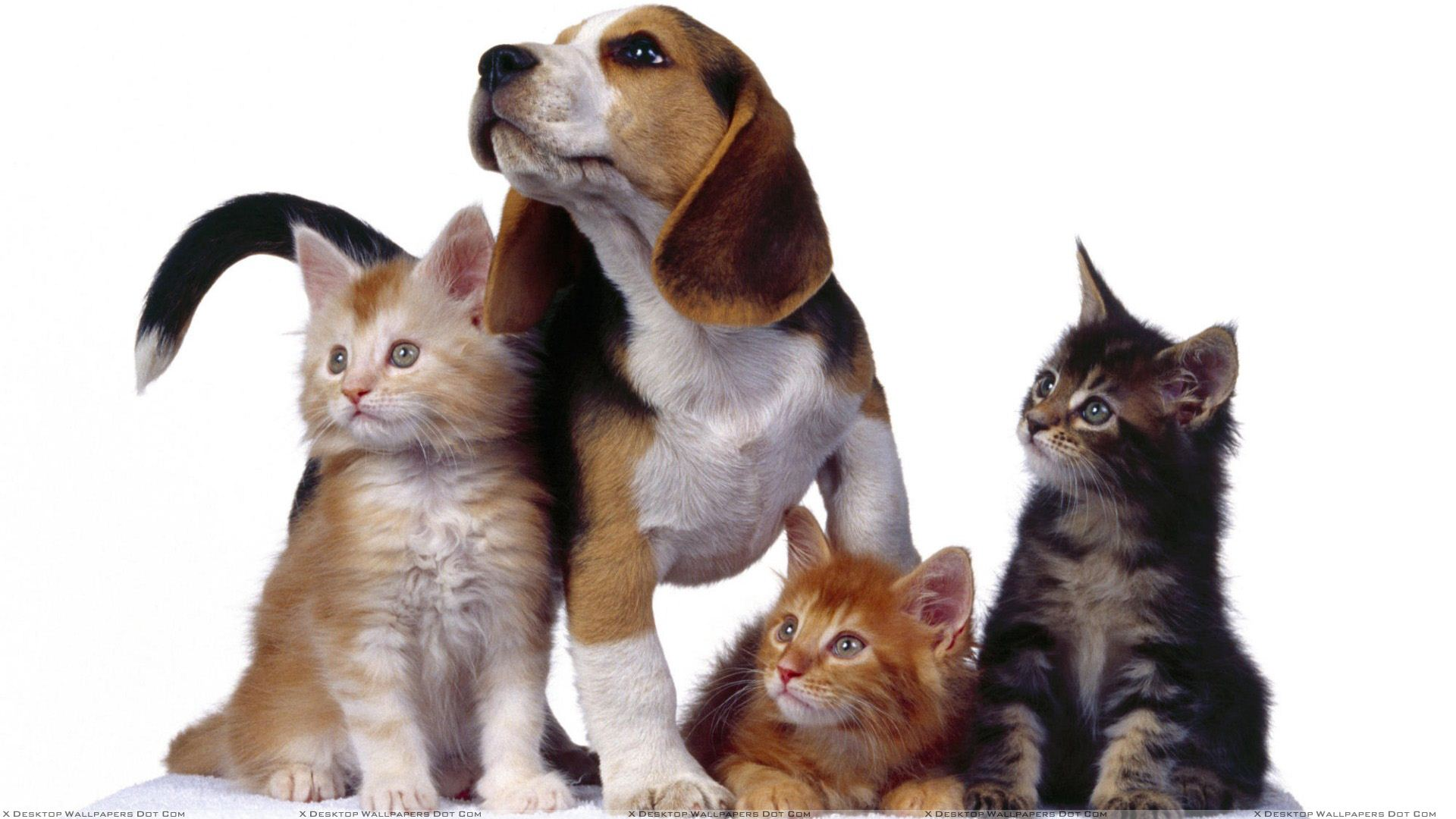 3 Cats With Dog On White Background Wallpaper