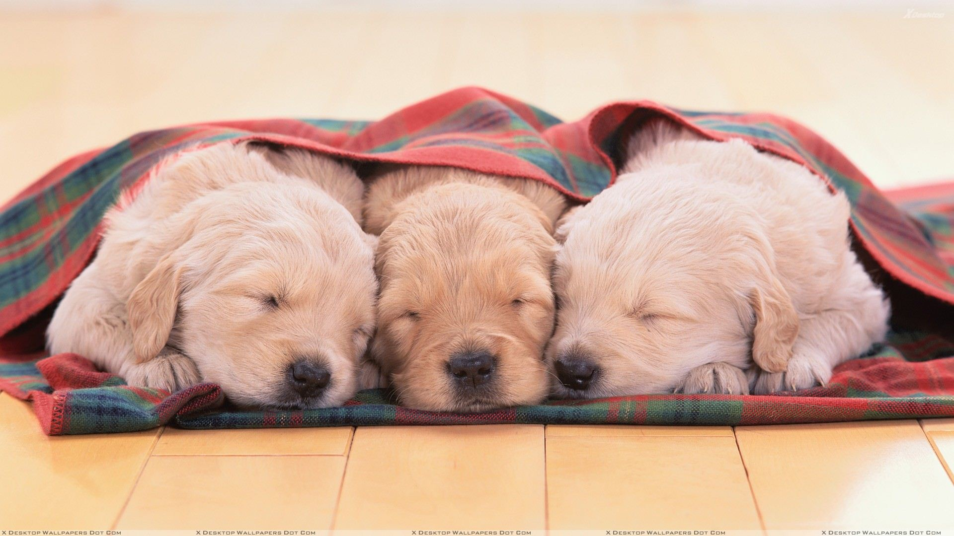 Cute Three Little White Puppies Sleeping Wallpaper