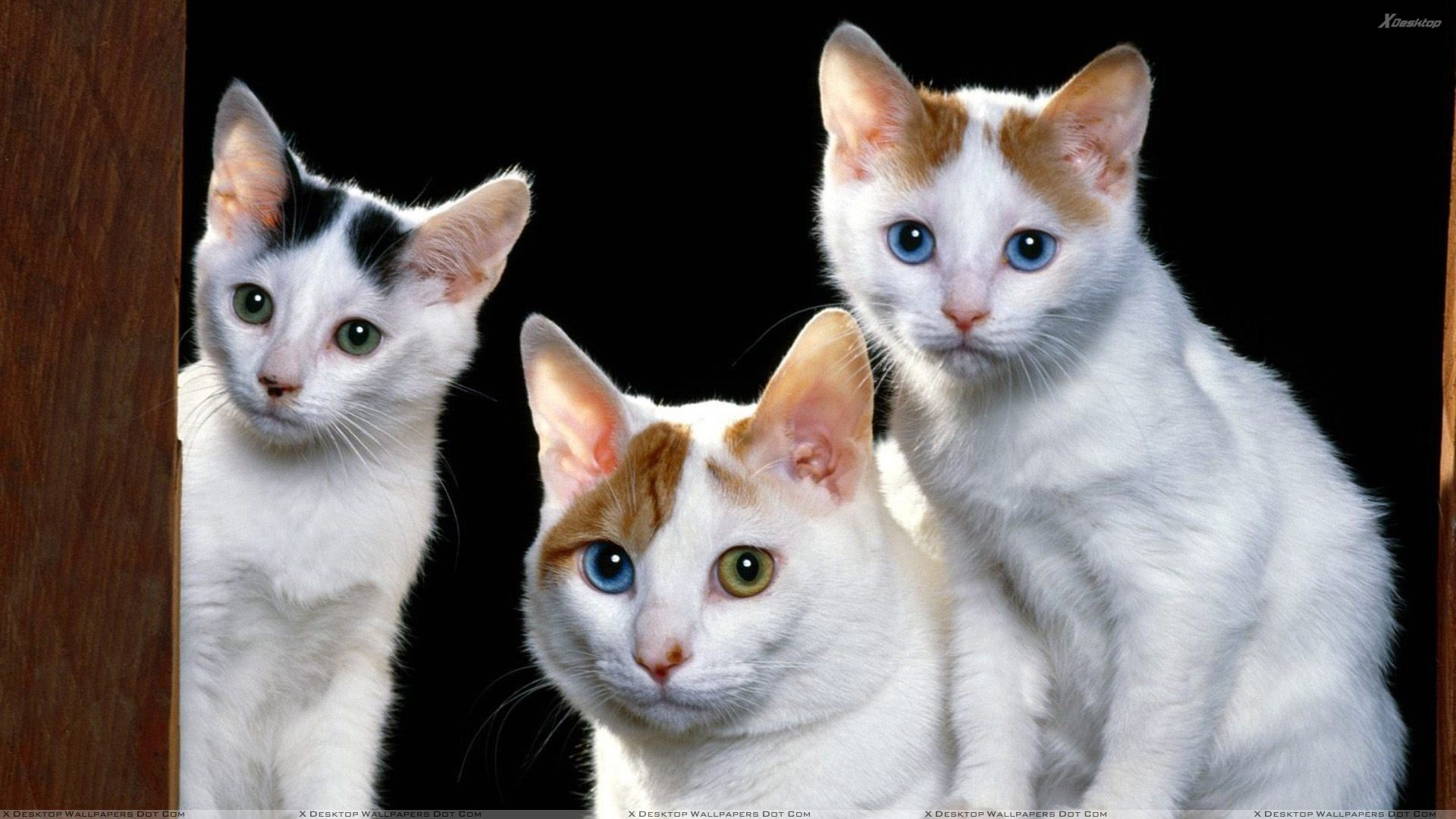 Three white cats looking sweet wallpaper The three cats