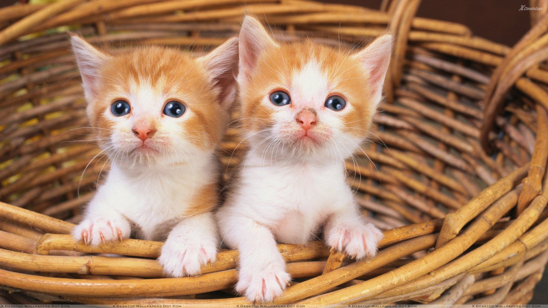 You Are Viewing Wallpaper Titled Two Small Brown White Cats