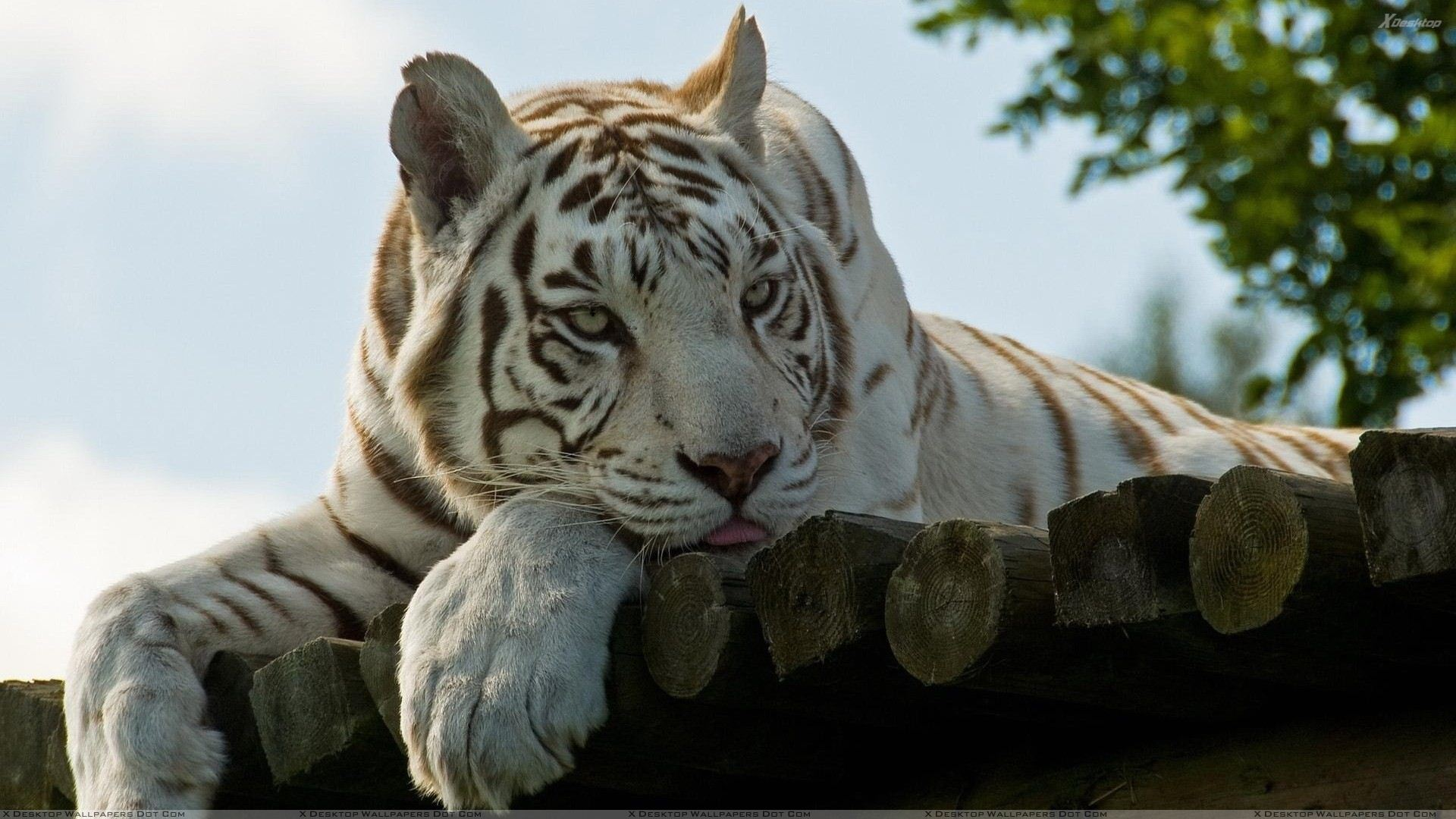 You Are Viewing Wallpaper Titled White Tiger