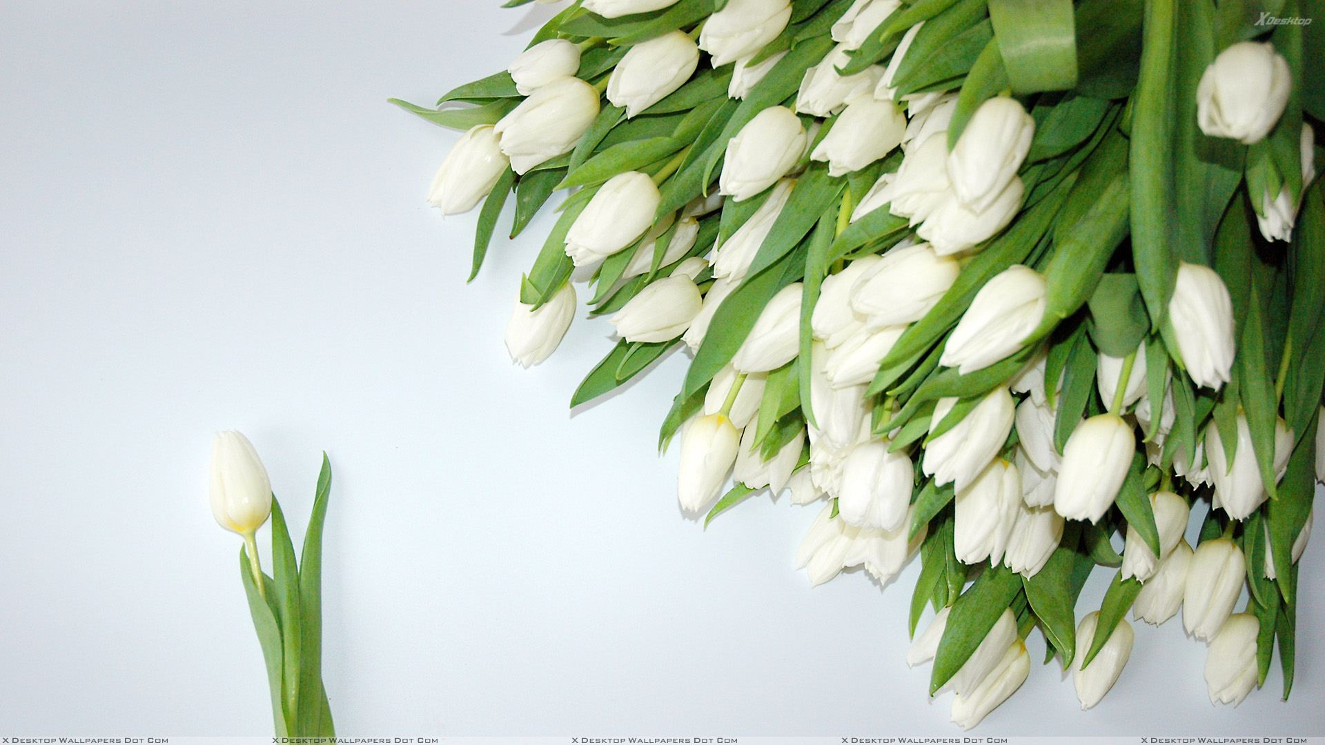 A Bunch Of White Tulips Wallpaper