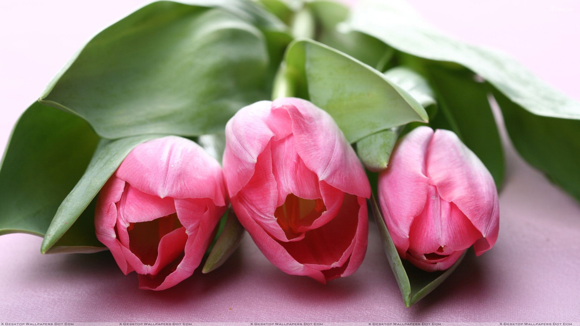 Three Pink Tulips Flowers Wallpaper