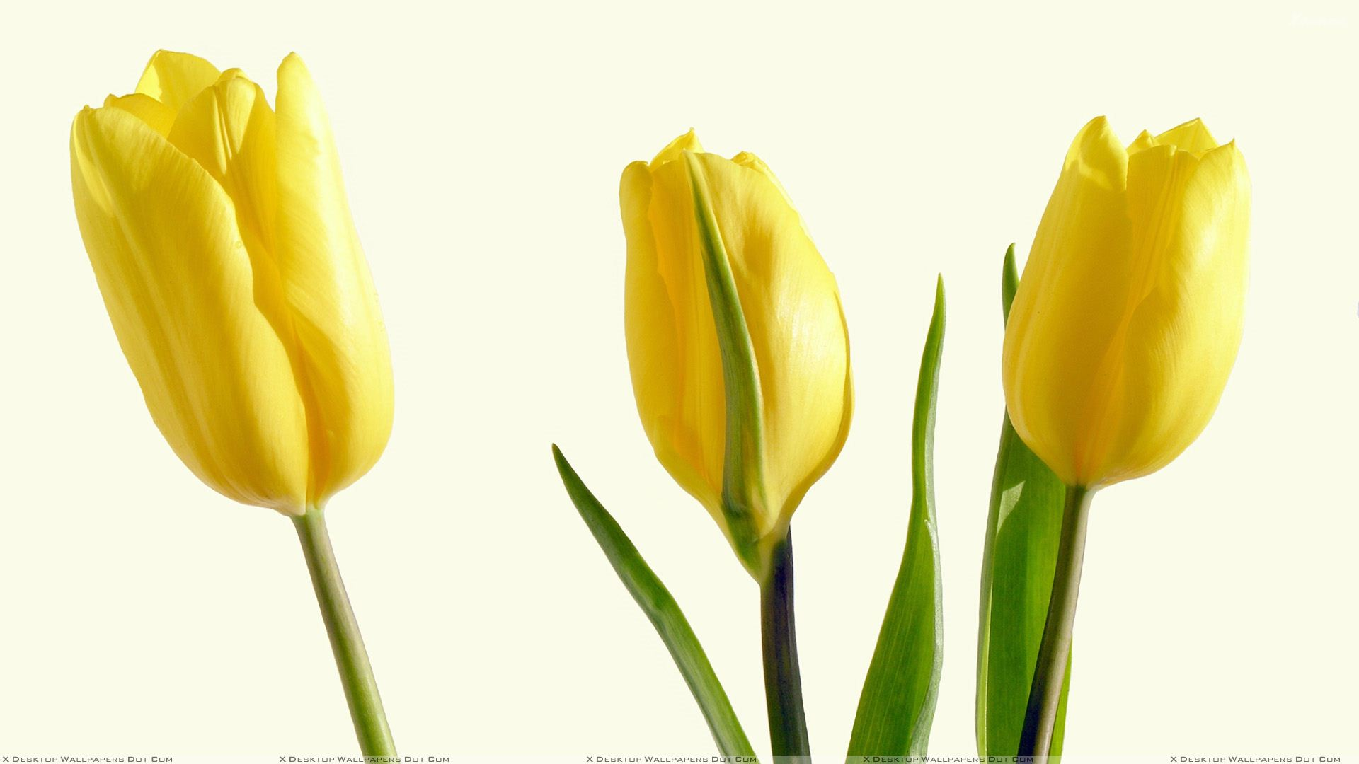 Three yellow tulips and white background wallpaper you are viewing wallpaper titled three yellow tulips mightylinksfo