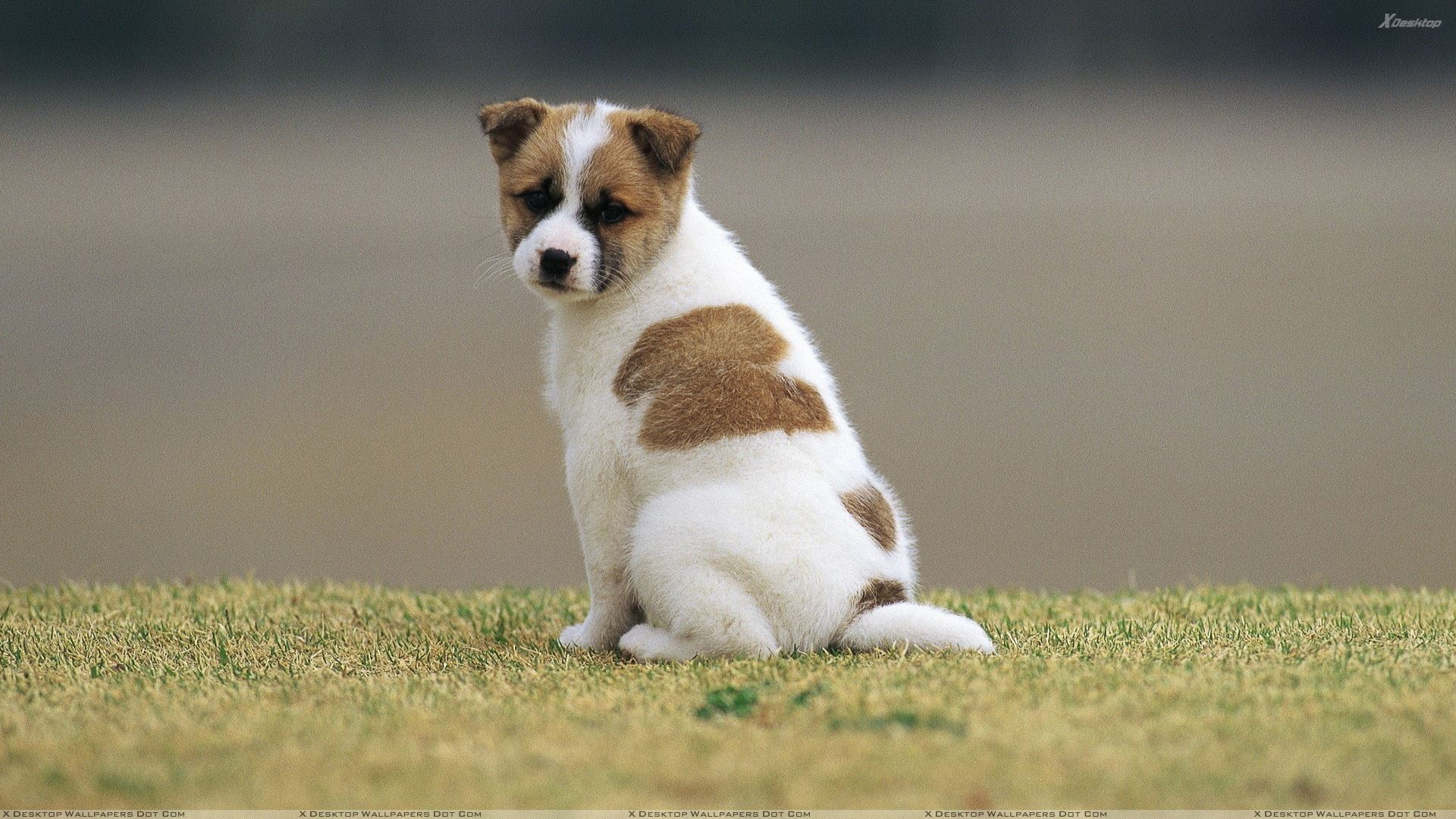sweet white brown puppy looking back wallpaper