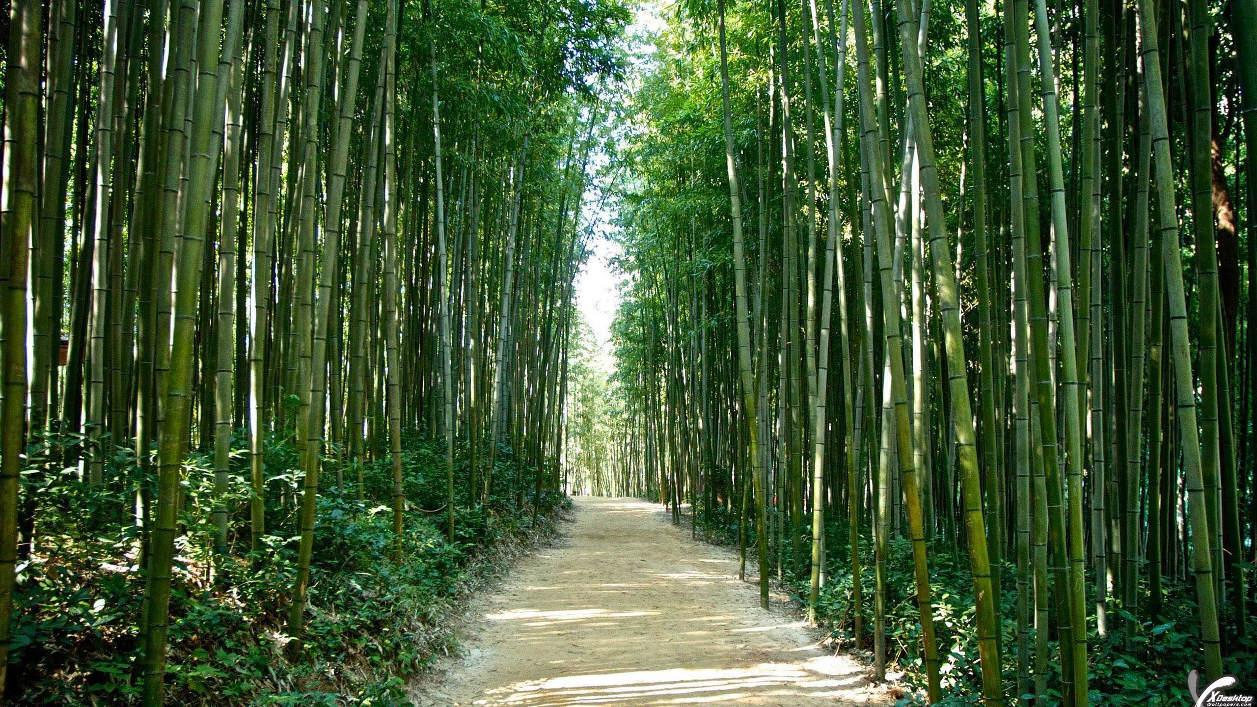 road through a bamboo forest in korea wallpaper