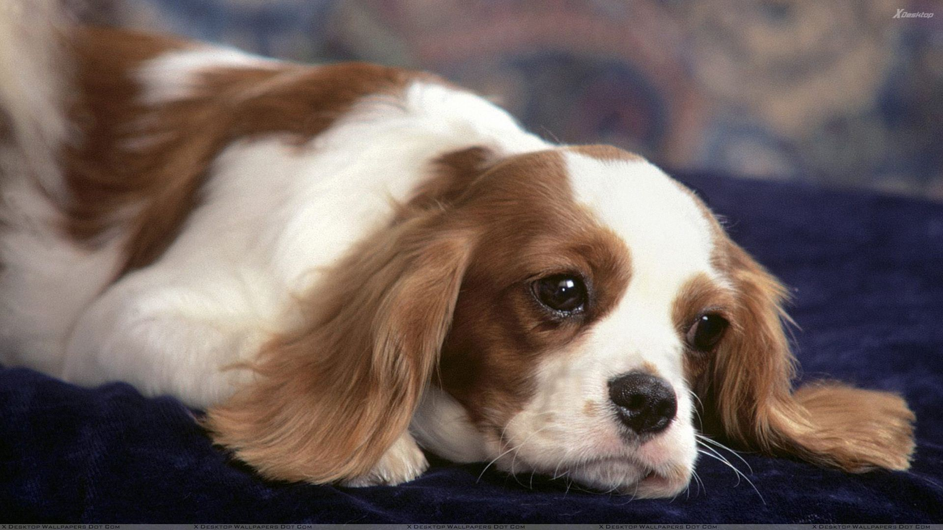 Percy Cavalier King Charles Spaniel Wallpaper